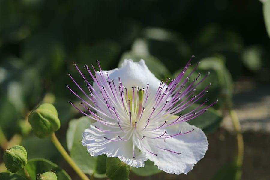 flower-caper-edit
